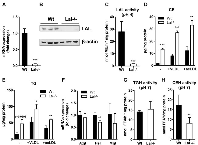 Neutral lipid accumulation in Lal-/- macrophages.