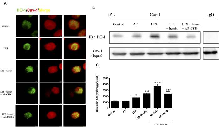 CSD peptides decreased interaction between HO-1 and Cav-1, and induced the HO-1 activity in alveolar macrophages.