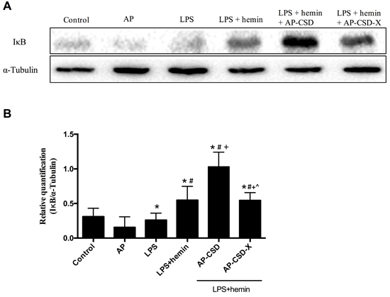 The cytoplasm content of IκB in alveolar macrophages after treating CSD peptides.