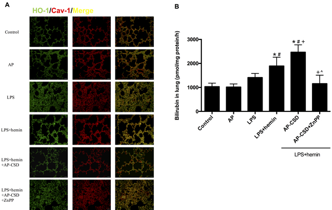 Figure: 5: CSD peptides decreased the interaction of HO-1 and Cav-1, and increased the HO-1 activity in LPS-challenged mice.