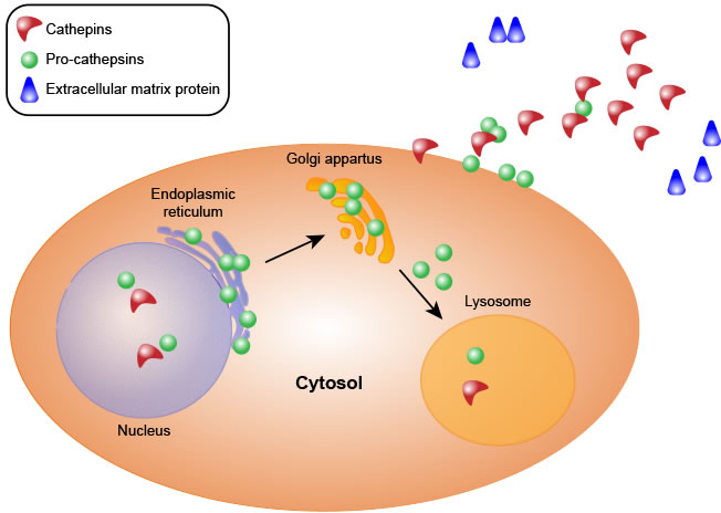Cathepsin synthesis.