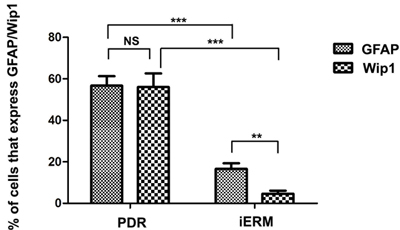 The number of positive cells for GFAP and Wip1 was scored in both groups, and the percentages of positive cells were used for statistical comparison.