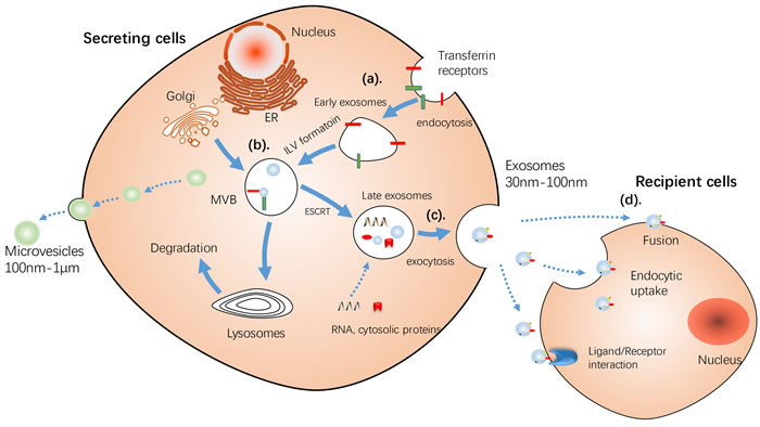 Schematic illustration of Release of MVs and exosomes.