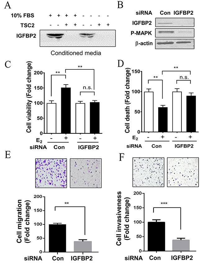 Depletion of IGFBP2 decreases the survival and metastatic potential of LAM patient-derived cell in vitro.