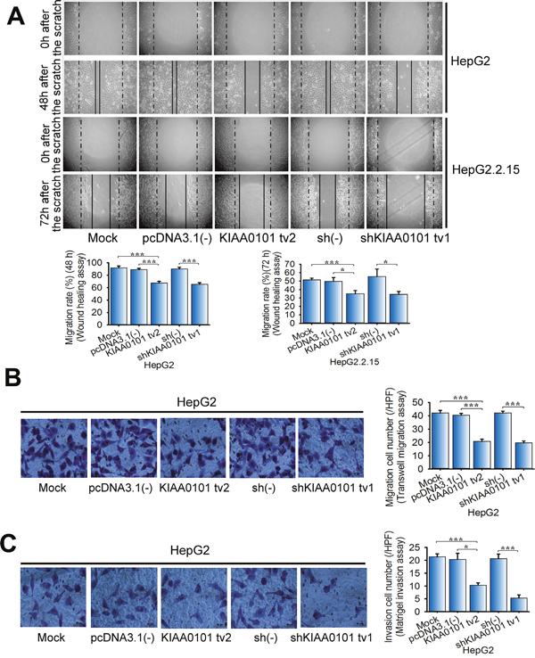KIAA0101 tv2 suppresses HCC cell migration and invasion similar to shKIAA0101 tv1.