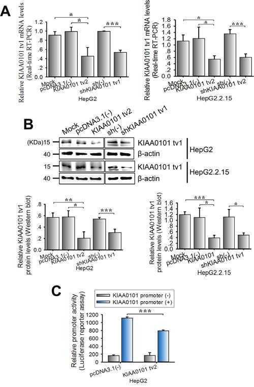 KIAA0101 tv2 overexpression suppresses the expression level of KIAA0101 tv1 in HCC cells.