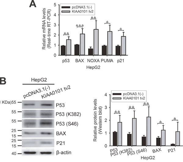 Exogenous expression of KIAA0101 tv2 increases p53 activity.