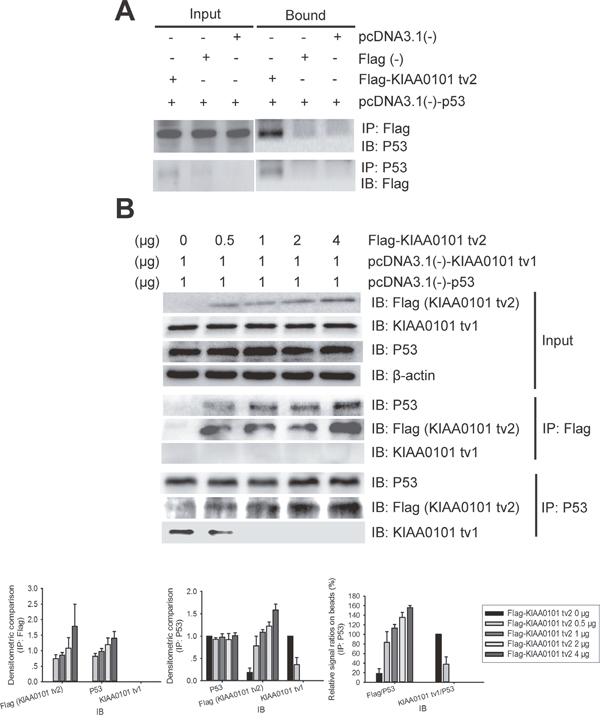 KIAA0101 tv2 competes with KIAA0101 tv1 for binding to P53 in mammalian cells.