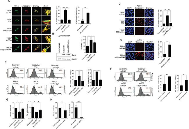 TTP overexpression increases cytochrome c release from mitochondria, caspase-3 activity and apoptosis in cancer cells.