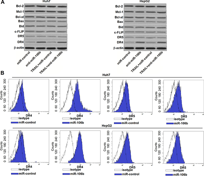 Anti-miR-106b increases the number of DR4 on the surface of HCC cells.