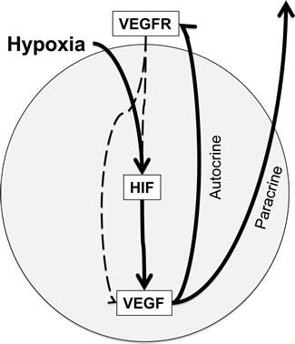 HIF-VEGF-VEGFR signaling in CRC cells.
