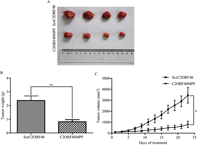 C2ORF40MPF inhibits tumor growth in nude mice.