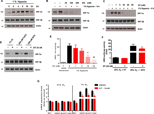 Cardiac glycosides inhibit the accumulation of HIF-1a in X01 GSC during hypoxia.