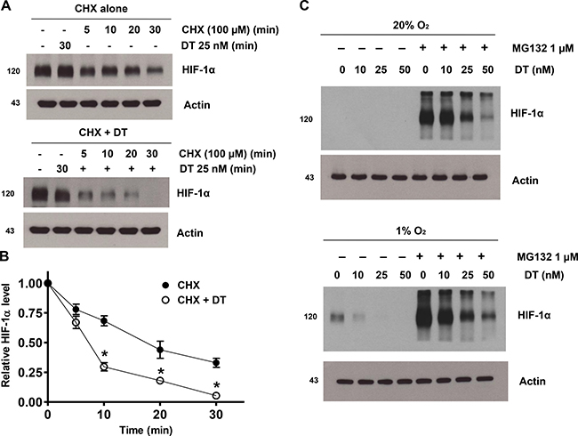 DT inhibits hypoxic HIF-1α accumulation by inhibiting protein synthesis.
