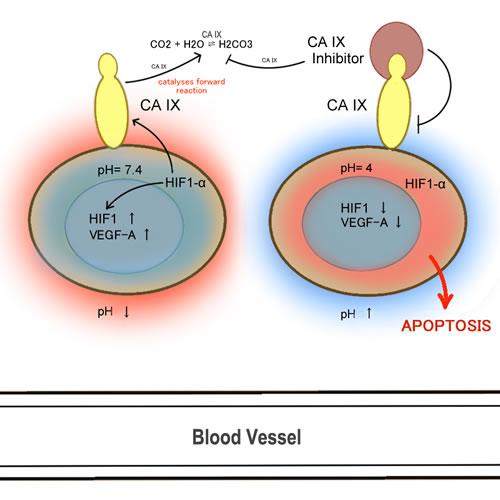CA IX and angiogenesis