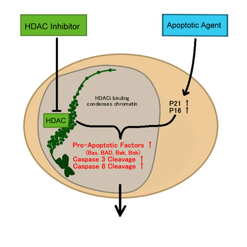 HDAC and apoptosis