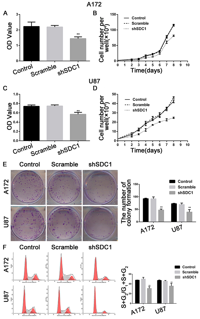 SDC1 knockdown inhibits the proliferation of A172 and U87 cells in vitro.