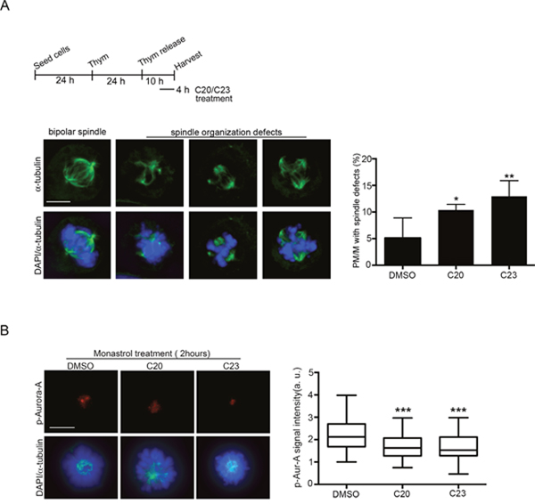 Effects of treatment with the C20 and C23 inhibitors on mitotic spindle structure and Aurora-A activity in U2OS cells.