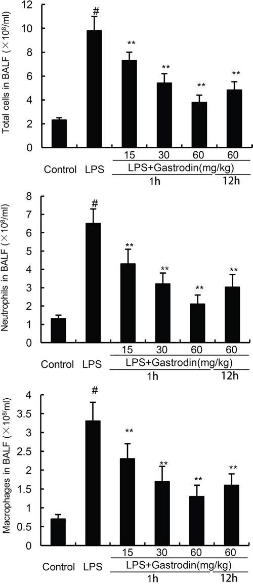 Effects of gastrodin on inflammatory cell count in the BALF of LPS-induced ALI mice.