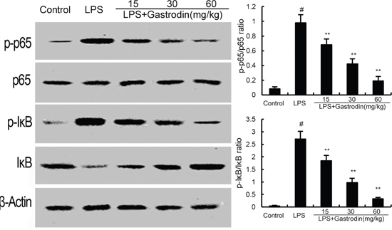 Gastrodin inhibits LPS-induced NF-κB activation.