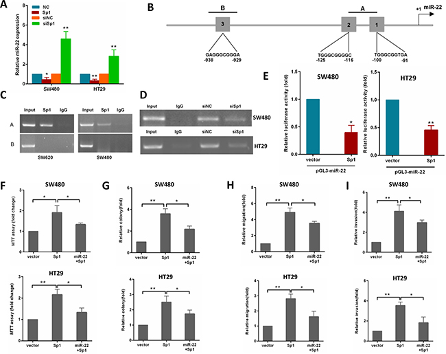 Sp1 binds to the promoter of miR-22 and depends on the miR-22 to promote CRC aggressiveness.
