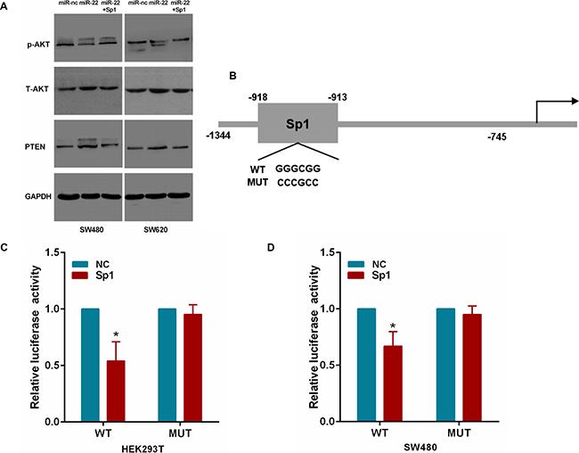 MiR-22 affects PTEN/AKT pathway through Sp1.