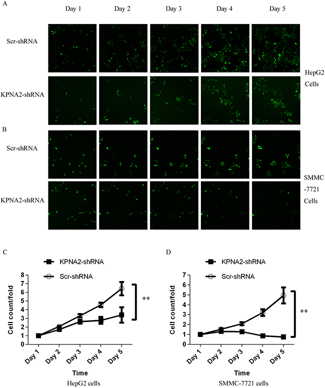 Inhibition of cell proliferation by silencing KPNA2 in human hepatocellular carcinoma cell lines HepG2 and SMMC-7721, measured via the Cellomics ArrayScan VTI.