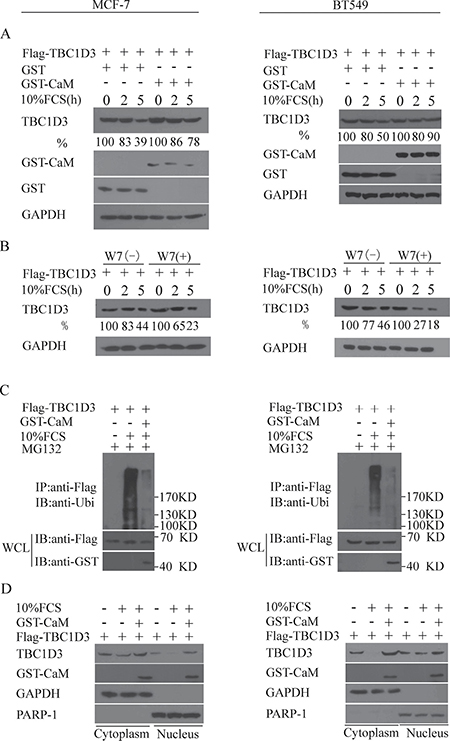 CaM inhibits the ubiquitination and degradation of TBC1D3 in both cytoplasm and the nucleus in response to FCS stimulation.