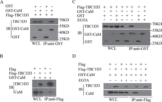 CaM associates with TBC1D3 in a Ca2+-dependent manner.