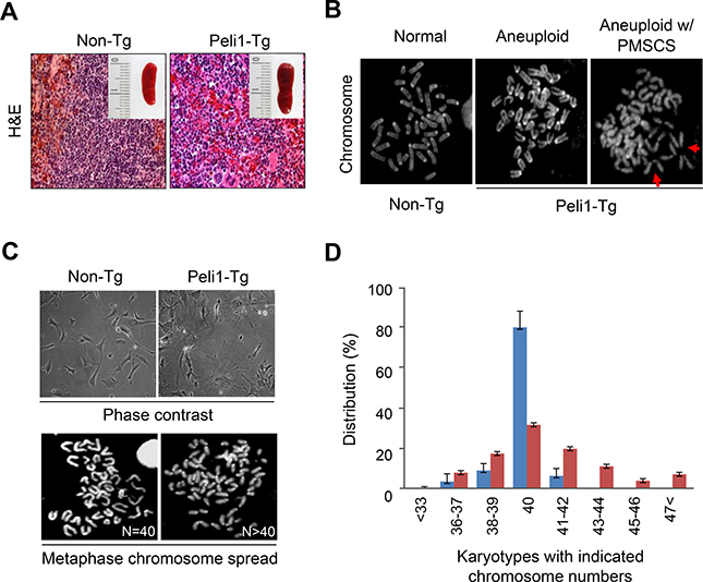 Transgenic mice overexpressing Peli1 induce aneuploidy and develop tumours.