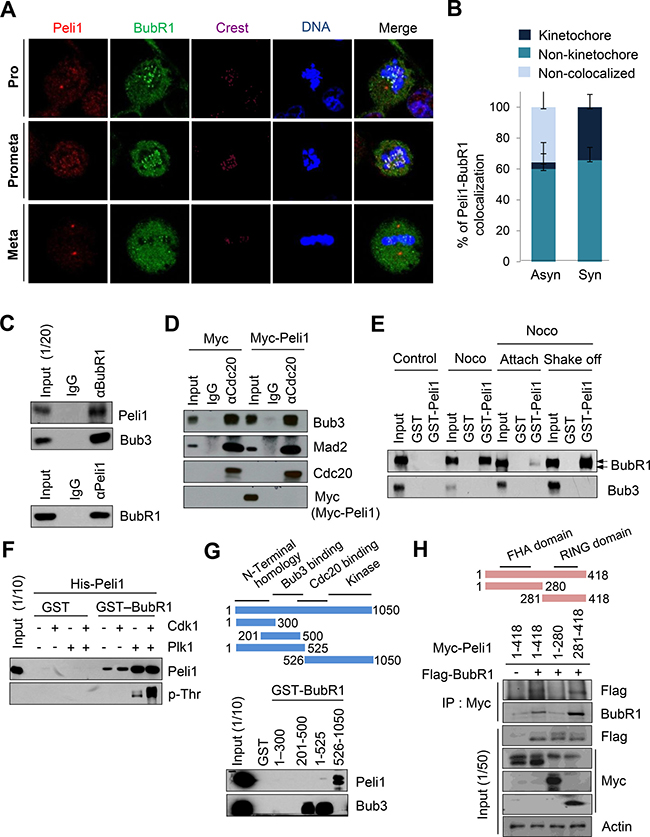 Peli1 co-localizes and interacts with BubR1 at mitotic phase of cell cycle.