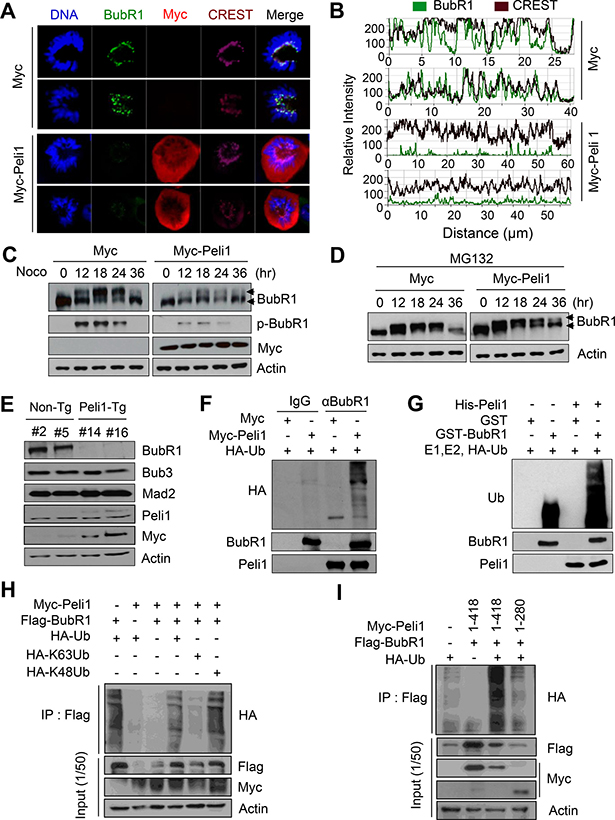 Peli1 directly down-regulates the stability of BubR1 by K48-mediated polyubiquitination.