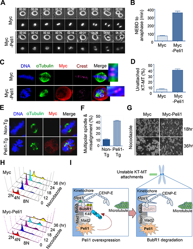 Peli1 overexpression leads to failure of kinetochore-microtubule interaction and lack of accurate chromosome alignments.