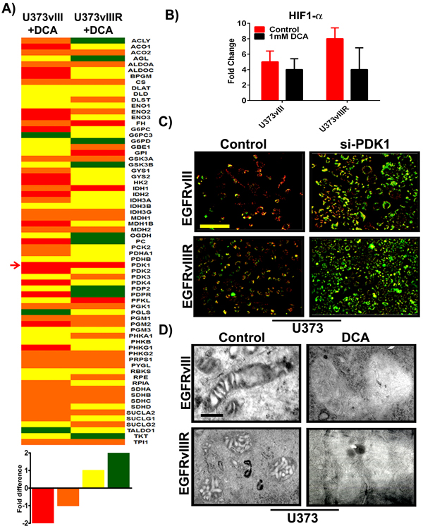 Differential expression of key genes involved in glucose metabolism; si-PDK1/DCA induce mitochondrial apoptosis and ∆Ψm change.