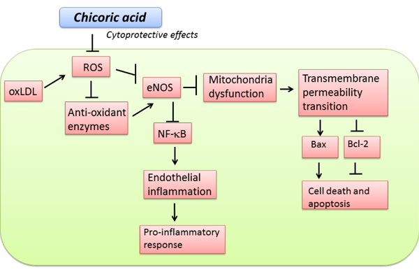 Schematic diagram showing cytoprotective signaling of chicoric acid in oxLDL-induced oxidative injuries in endothelial cells.