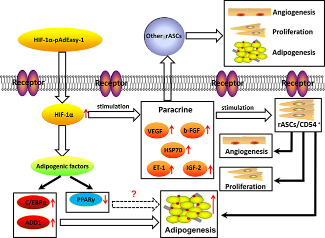 Graphical model of signaling in rASCs adipogenic differentiation.