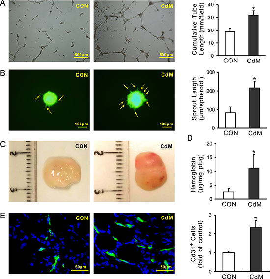 CdM derived from MSCs promotes angiogenesis.