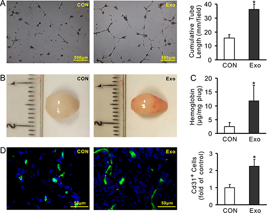 Exosomes derived from MSCs promote angiogenesis.