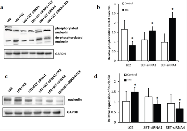 SET decreases phosphorylation of nucleolin and increases its expression in TCE-exposed liver cells.