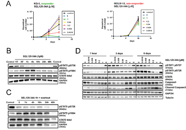 Efficacy of SEL120-34A in responder AML cells lines coincides with the inhibition of STAT5 S726.