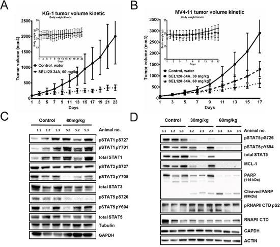 SEL120-34A inhibits growth of AML tumors in a dose- dependent manner.