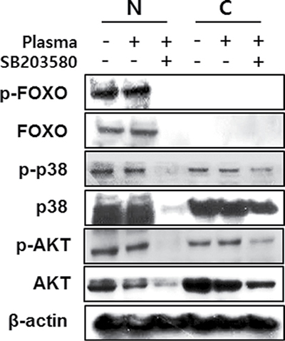 MC3T3-E1 cells were treated with NBP and SB203580 and separated nucleus and cytosol fraction after harvested the protein.