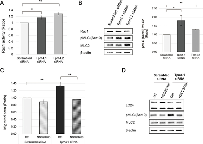 Depletion of Tpm4.1 induces Rac1 activation and it is responsible for increase in cell migration.