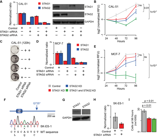 Effect of transient blocking of STAG1 and STAG2 on cell proliferation.
