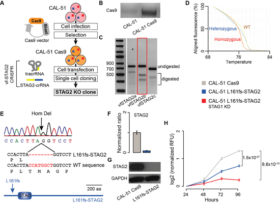 Synthetic lethality between STAG1 and STAG2 in stably edited STAG2 cells.
