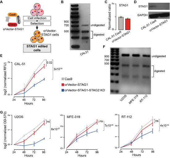 Synthetic lethality between STAG1 and STAG2 in stably edited STAG1 cells.