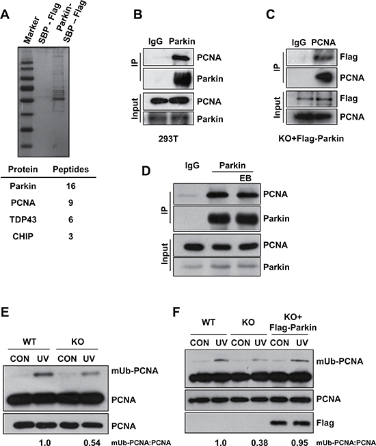 Parkin promotes PCNA monoubiquitination after exposure to UV radiation.