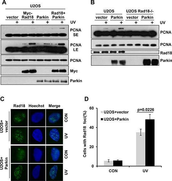 Parkin promotes Rad18 dependent PCNA monoubiquitination.