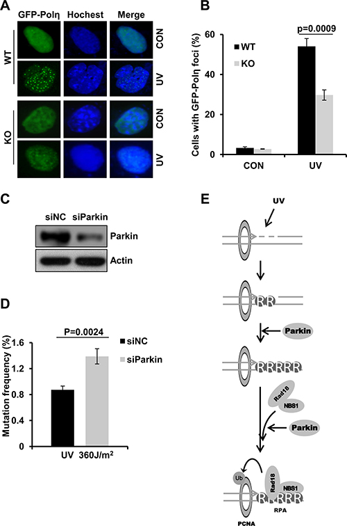 Parkin deficiency attenuates Polη recruitment to damage sites and leads to higher mutation frequency.