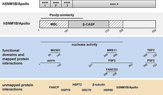 Schematic representation of the genomic organization, structural and functional domains and interacting partners of hSNM1B/Apollo.